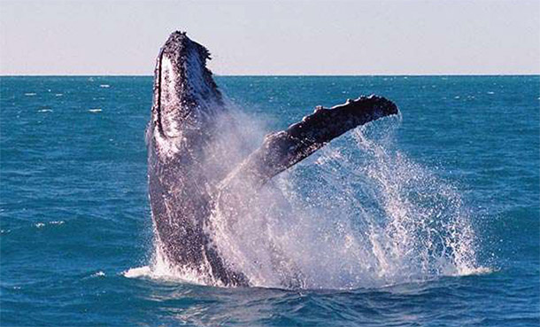 Coffs Harbour hosts the magnificent Humpback Whales on their annual migration